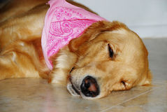 Golden Retriever dog. Stock Photography