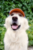 Golden retriever dog Stock Images