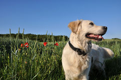 Golden retriever dog. Cute golden retriever dog in flowery countryside field Stock Photo