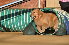 Golden Retriever at a Dog Agility Trial Royalty Free Stock Photography