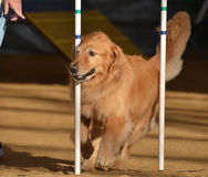Golden Retriever at a Dog Agility Trial Royalty Free Stock Images