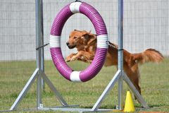 Golden Retriever at a Dog Agility Trial Stock Images