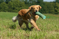 Golden Retriever dog. Apporting a dummy royalty free stock photos