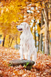 Golden retriever dog in autumn Stock Photo
