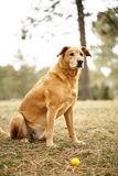 Golden retriever dog with ball. Golden retriever dog sitting outside in backyard with ball ready to play Stock Images