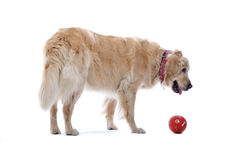 Golden Retriever dog with ball Royalty Free Stock Images