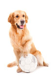 Golden retriever dog with ball on white Stock Photo