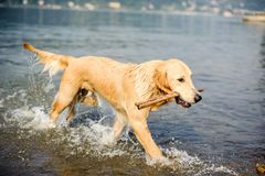 Golden retriever dog bathes in Lake Maggiore, Angera, Lombardy,. Italy Royalty Free Stock Photos
