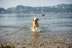 Golden retriever dog bathes in Lake Maggiore, Angera, Lombardy,. Italy Royalty Free Stock Photography