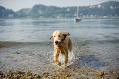 Golden retriever dog bathes in Lake Maggiore, Angera, Lombardy,. Italy Stock Image
