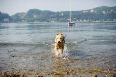 Golden retriever dog bathes in Lake Maggiore, Angera, Lombardy,. Italy Royalty Free Stock Image