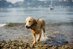 Golden retriever dog bathes in Lake Maggiore, Angera, Lombardy,. Italy Stock Images