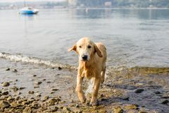 Golden retriever dog bathes in Lake Maggiore, Angera, Lombardy,. Italy Royalty Free Stock Photo