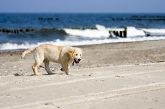 Golden retriever dog on beach Stock Images