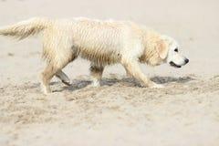 Golden Retriever dog royalty free stock photos