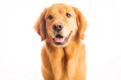 Golden Retriever Dog Stock Photography