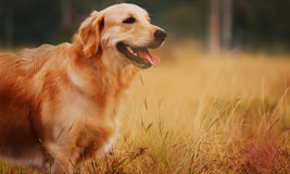 Golden Retriever Dog. A beautiful and photogenic Golden Retriever Dog captured with amazing Golden background, which is a joy to look at Stock Photo