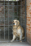 Golden_retriever. Golden retriever dog behind the gate of a house Stock Images
