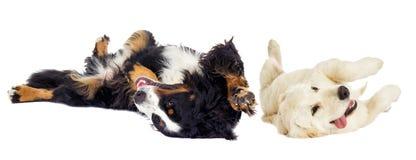 Golden retriever dog and the Bernese Mountain Dog. Lie on their backs stock photos