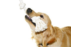 Golden retriever dog biting rope toy Royalty Free Stock Photo