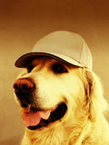 Golden retriever dog with cap Royalty Free Stock Images