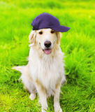 Golden Retriever dog in cap sitting on the green grass Stock Images