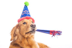 Golden Retriever Birthday Stock Photos Royalty Free Pictures