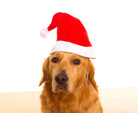 Golden retriever dog with chirstmas santa red hat Royalty Free Stock Images