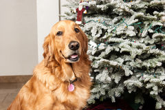 Golden retriever dog with Christmas tree Royalty Free Stock Photos