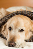 Golden Retriever dog cold Royalty Free Stock Images