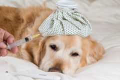 Golden Retriever dog cold stock photography