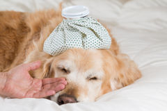 Golden Retriever dog cold Royalty Free Stock Image