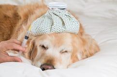 Golden Retriever dog cold Stock Image