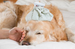 Golden Retriever dog cold Royalty Free Stock Photos