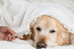 Golden Retriever dog cold Stock Images