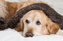 Golden Retriever dog cold Stock Photos