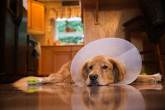 Golden Retriever dog with a cone collar after a trip to the vete Stock Photos