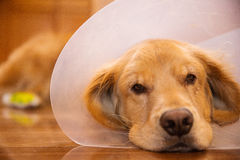 Golden Retriever dog with a cone collar after a trip to the vete Stock Image