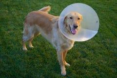 Golden Retriever Dog with Cone Royalty Free Stock Photos