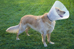 Golden Retriever Dog with Cone Royalty Free Stock Image