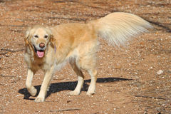 Golden retriever dog with crimped tail and leg feathers. Happy golden retriever dog with crimped tail and leg feathers stock image
