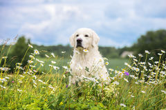 Golden retriever dog in a daisy field Royalty Free Stock Images
