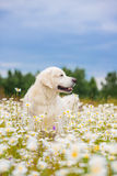 Golden retriever dog in a daisy field Stock Images