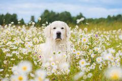 Golden retriever dog in a daisy field Royalty Free Stock Image