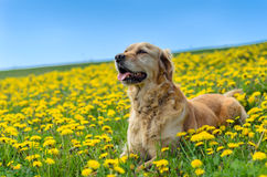 Golden retriever dog, dandelion meadow Stock Image