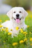 Golden retriever dog in dandelions field Stock Photography