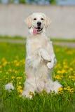 Golden retriever dog in dandelions field Stock Photo