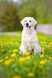 Golden retriever dog in dandelions field Royalty Free Stock Photo