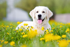 Golden retriever dog in dandelions field Stock Photos