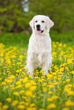 Golden retriever dog in dandelions field Royalty Free Stock Image